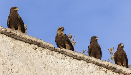 lanner: Lanner falcons on the walls of camel meat butchery in walled city of Jugol  Harar  Ethiopia