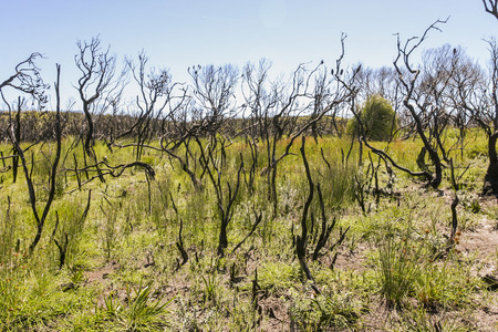 nsw: Landscape after bushfire. Booderee National Park. Jarvis Bay. NSW. Australia
