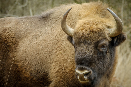 grazer: a wisent The European bison stands in the natural park of the Maashorst, Netherlands