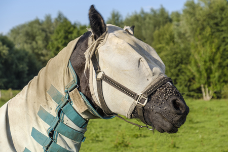 horse with horse fly sheet and mask for protection against insects