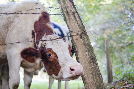 A cow sticks his head under the barbed wire