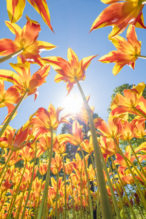 colorful tulips are in full bloom and directed towards the sun with their beautiful colors against a blue sky
