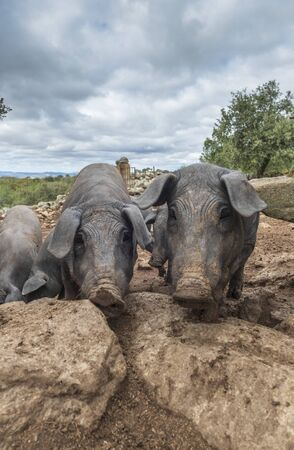 curious black iberian pigs the pata negra stand in their outside residence and look around with interest