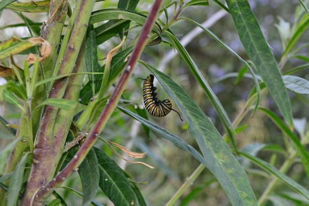 spin: Monarch butterfly caterpillar beginning to spin cocoon