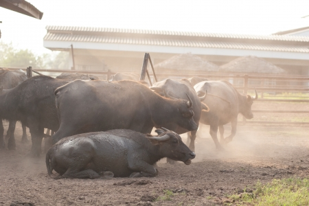 Asia Buffalo farm photo