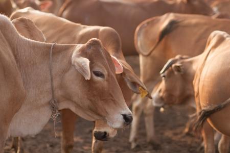 buey: ante asia buey y vaca Foto de archivo
