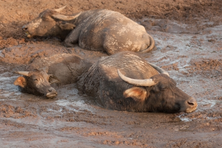 Asia Buffalo in mud with family photo