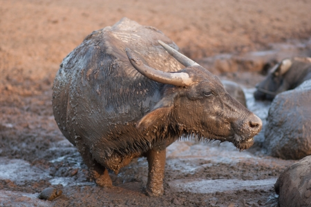 Asia Buffalo in mud photo