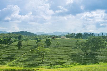 chiangrai: Sunrise view of tea plantation landscape at Chiangrai, Thailand