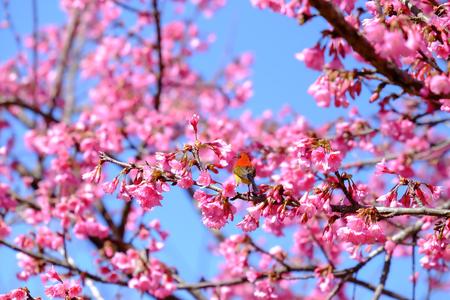 Sakura Japanese or cherry blossom and bird at Doi Ang Khang National Park, Chiang Mai, Thailand. Stock Photo