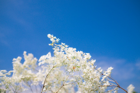 contrast floral: white flowers with blue sky Background (Selective Focus)