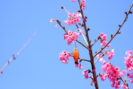 blossoming yellow flower tree: Sakura Japanese or cherry blossom and bird at Doi Ang Khang National Park, Chiang Mai, Thailand. Stock Photo