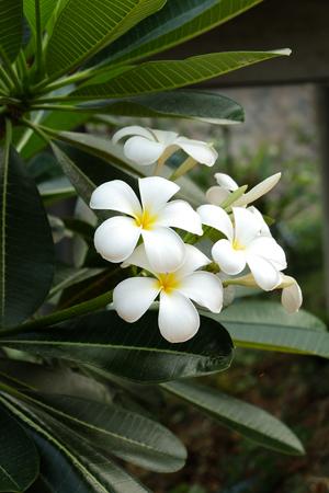 plumerias: White plumerias
