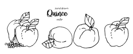 Hand drawn quince vector illustration. Hand drawn sketch style set of quinces. Quince apple with leaf, group of quinces. Eco fruit vintage vector illustration.
