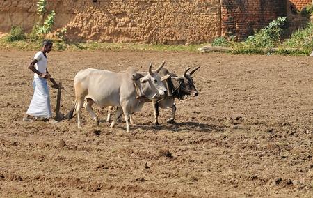 khajuraho: Khajuraho, India - November 26, 2009 - Khajuraho, India - November 26, 2009 - Farmer plowing his field with traditional methods