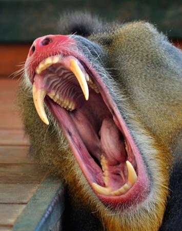mouth of monkey - baboon