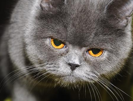 British cat.  photo