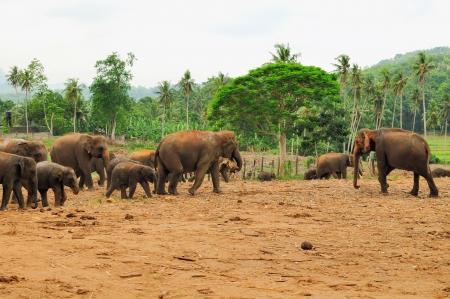 river scape: Herd of asian elephants at the Pinnawela Elephant Orphanage in Sri Lanka