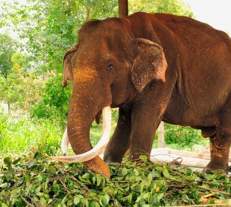 orphanage: Asian elephant at the Pinnawela Elephant Orphanage in Sri Lanka