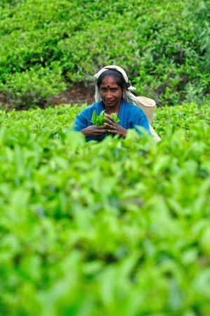 ceylon: NUWARA ELIYA, SRI LANKA - May 26, 2012:  Woman from Sri Lanka picks in tea leaves on tea plantation. Editorial