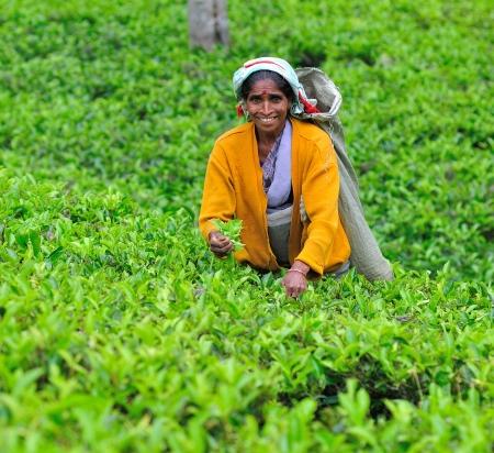 NUWARA ELIYA, SRI LANKA - May 26, 2012:  Woman from Sri Lanka picks in tea leaves on tea plantation.
