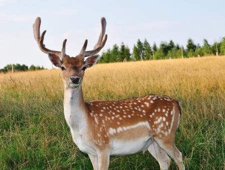 huge antlers: The male deer  Daniel  in the meadow