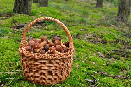 fungaceous: Basket full of mushrooms in forest