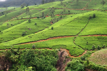 Les plantations de th� au Sri Lanka Nuwara Eliya photo