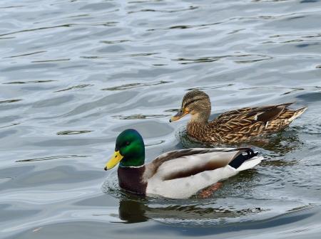 Pair of mallard ducks, photo