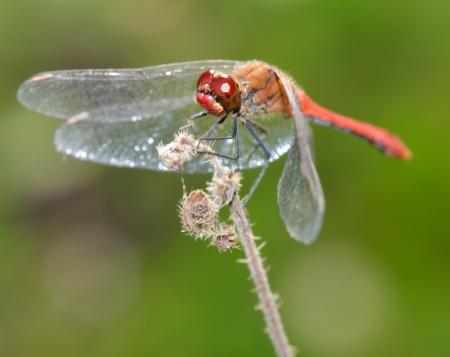 vulgatum: Red dragonfly  High resolution