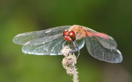 anisoptera: Red dragonfly  High resolution