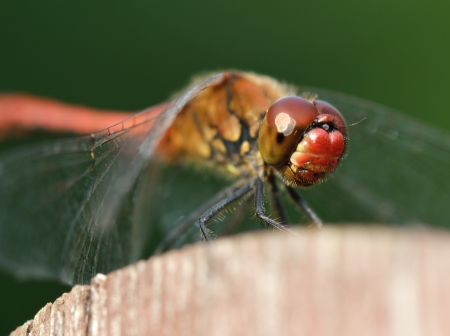 Red dragonfly  High resolution  photo