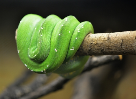 Green snake on brown branch  photo