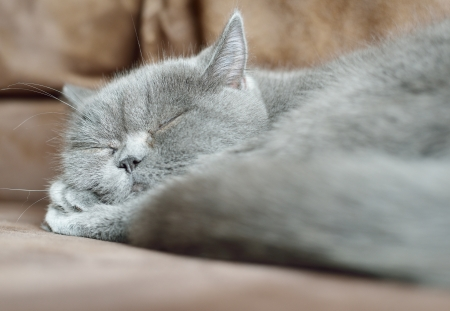 cat sleeping: British cat sleeping  Stock Photo
