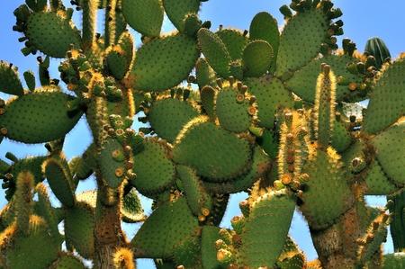 Cactuses on blue sky background  photo
