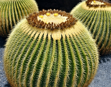 Big Cactuses  photo