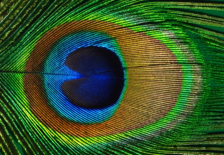 Peacock feather as a background