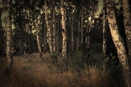 lomography:  Birch forest  Vintage style