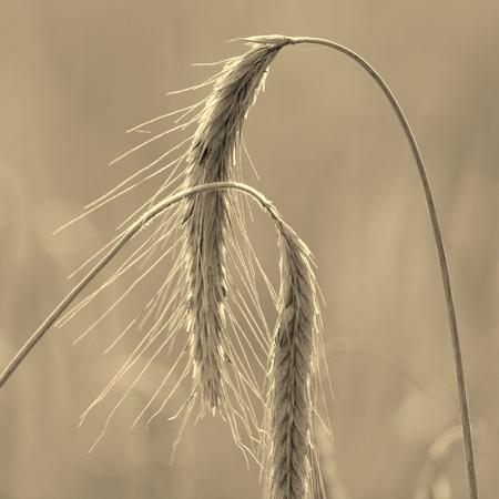 Wheat field in sunshine  photo