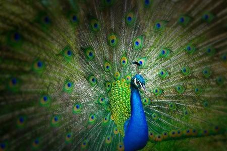 孔雀。 写真素材