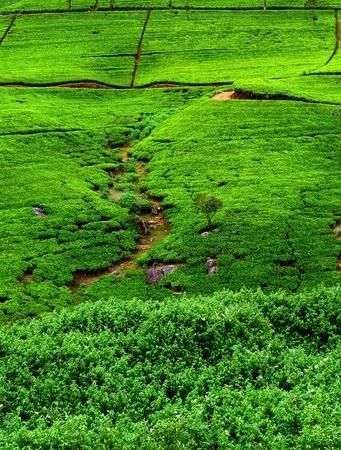Fields of tea. Plantation in Sri Lanka. photo