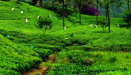 ceylon: Fields of tea. Plantation in Sri Lanka.
