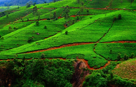 srilanka: Fields of tea. Plantation in Sri Lanka.