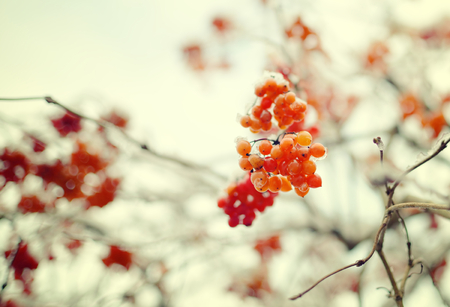 rowan tree: Fruit of the rowan tree. Winter. Stock Photo