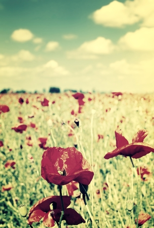 Field of poppies. photo