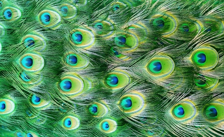 Peacock feather as a background. Stock Photo