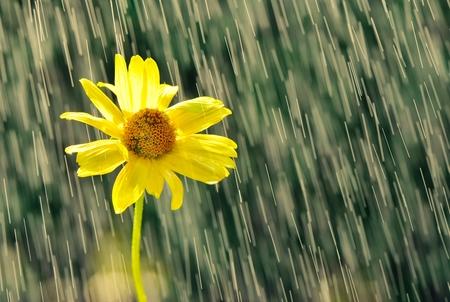 Gele bloem in druppels regen.