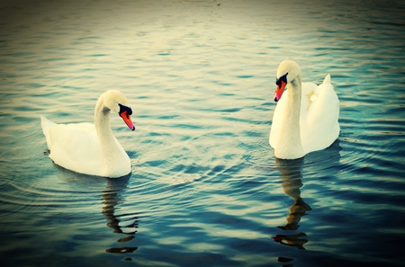 swans: To swans. Stock Photo