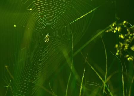 spiderweb: Spiderweb on a meadow in the sunshine.