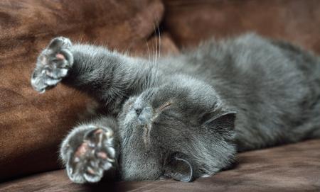 British Shorthair cat.